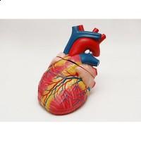 Jantung_Manusia_plastik.jpg