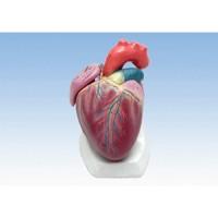 Model_jantung.jpg