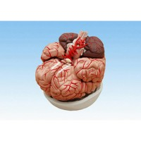 Model_otak_manusia_plastik.jpg