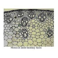 mikroslaid_batang_monokotil.jpg